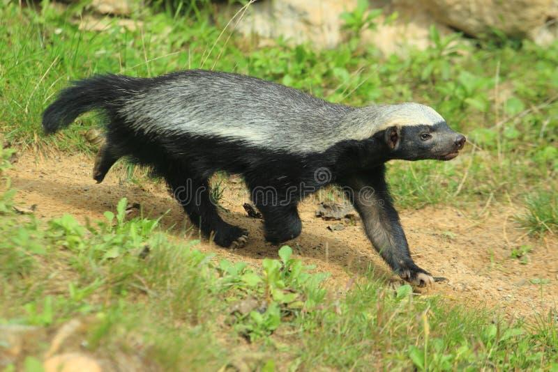 Honey badger. Running on the soil royalty free stock image