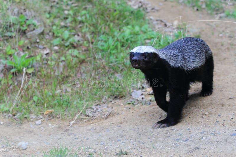 Honey badger. The strolling honey badger in the soil stock images