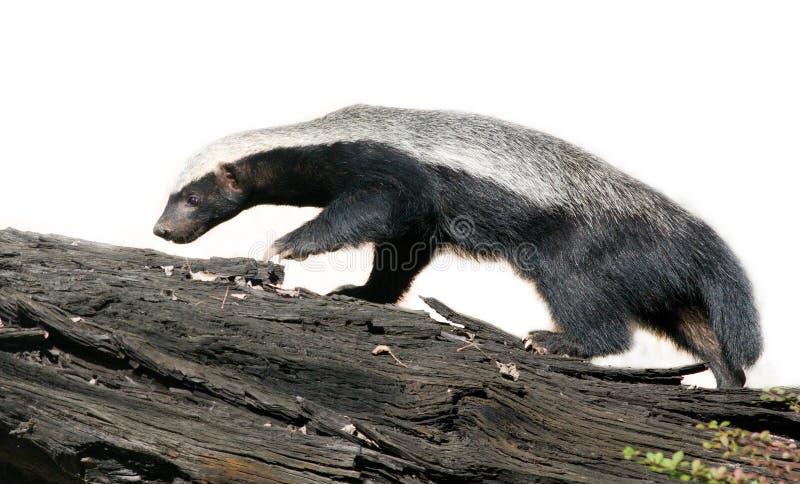 Honey badger. On white background stock photo