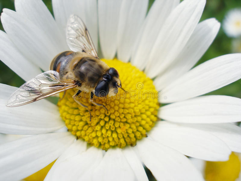 Download Honey Bee Stock Photography - Image: 10392392