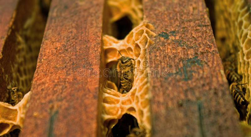 Download Honey bee stock photo. Image of close, feed, bumblebee - 19557524