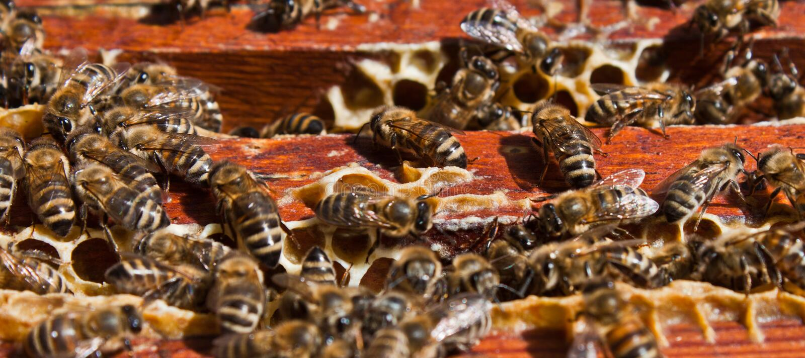 Download Honey bee stock image. Image of brood, eating, animal - 19748853