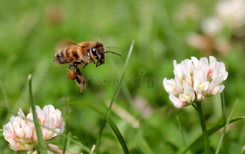 Honey bee. Flying honey bee on flowers stock photo