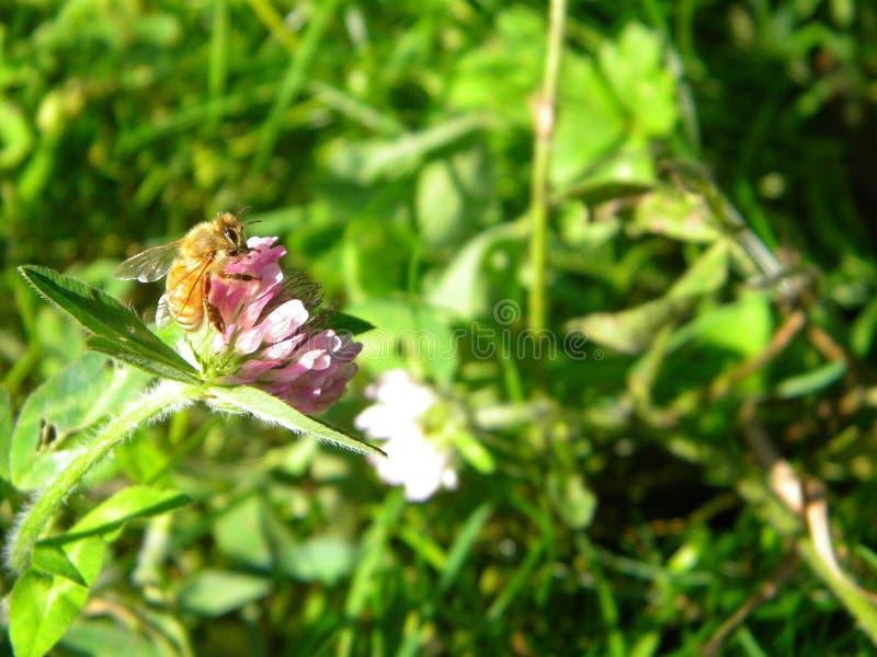Honey Bee on Alsike Clover. Honey bee harvesting Alsike clover flower in Western Washington in late September.  Apis Mellifra. All foraging honey bees are female royalty free stock photography