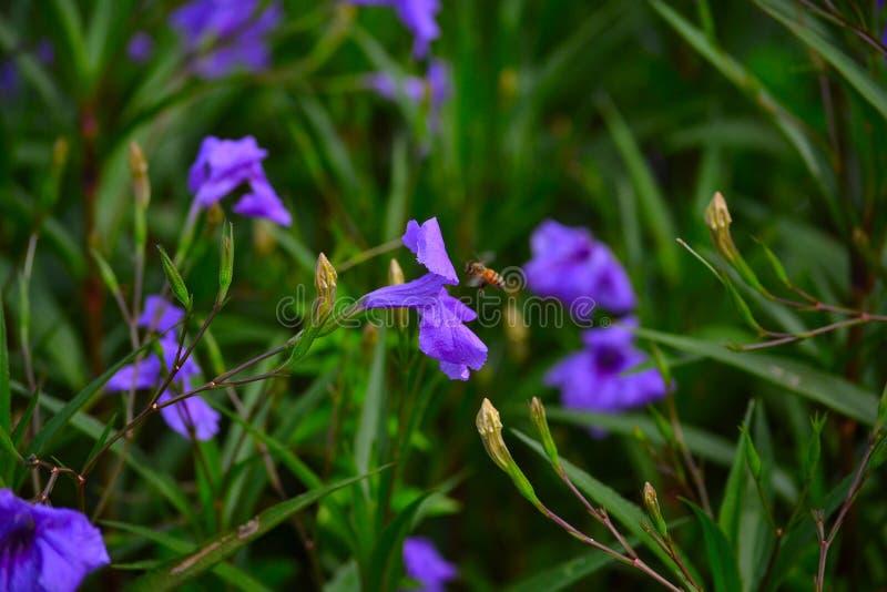 Honey Bee (Apis) flyg bredvid blomman royaltyfria bilder