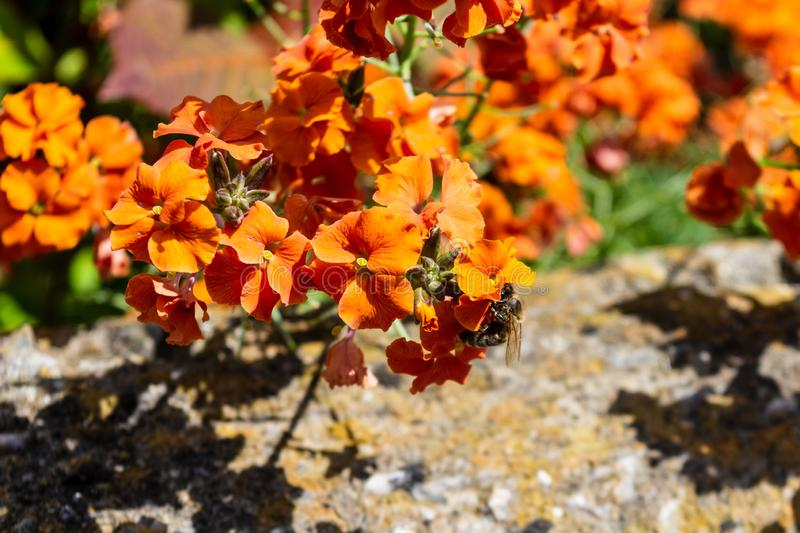 A honey bee Apis mellifera drinking nectar from an orange wall flower erysimum. A western or european honey bee apis mellifera visiting a bright orange coloured royalty free stock photos