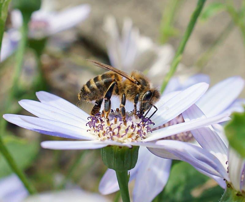 Honey Bee (Apis Mellifera) Stock Images