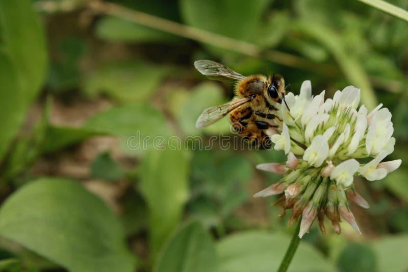 Honey Bee auf Klee-Blüte lizenzfreie stockfotografie