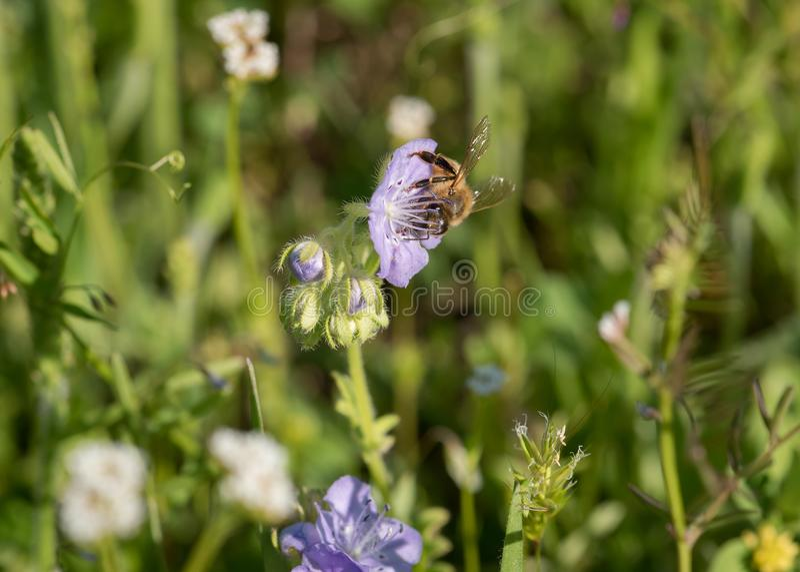 Honey Bee auf Texas Baby Blue Eyes Bloom lizenzfreies stockbild