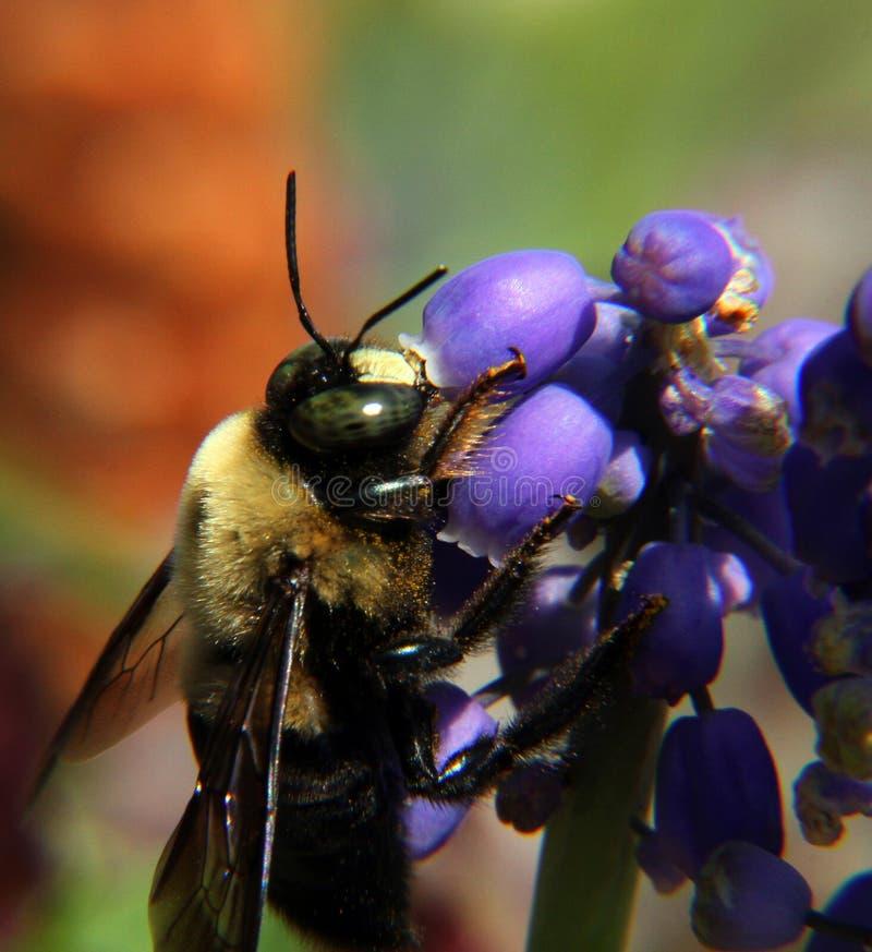 Honey Bee av druvahyacinten arkivbilder