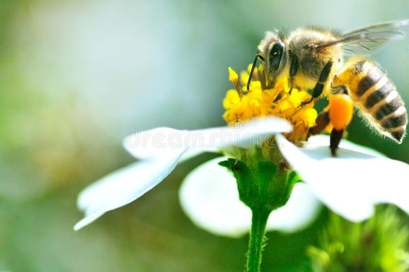 Honey bee and flower, insect royalty free stock image