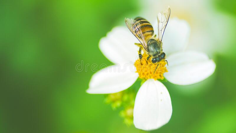 Honey bee and bidens pilosa flower, insect royalty free stock photo