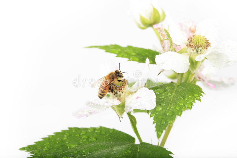 Honey Bee Blackberry Flower imagens de stock