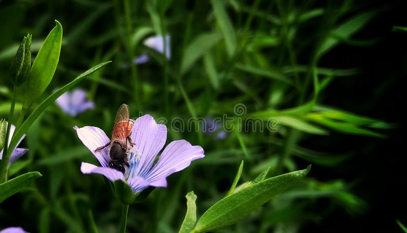 Honey Bee on the blue flower royalty free stock images