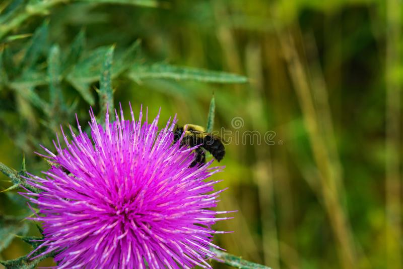 Honey Bee Boit du nectar d'un chardon photo stock
