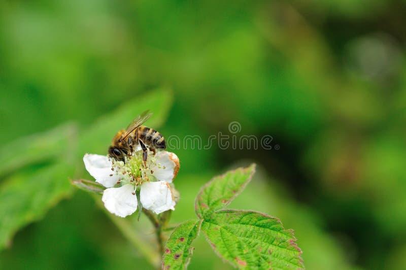 Honey bee on bramble royalty free stock image