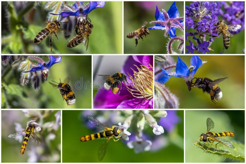 Honey bee, Bumble bee, Marmalade hoverfly collecting and suck nectar on flowers set collage collection white frame. Close up royalty free stock images
