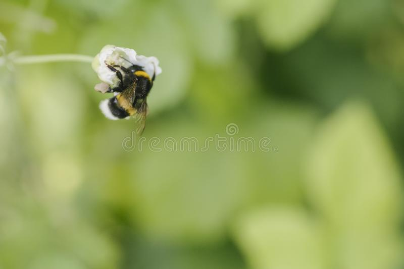Honey Bee bumblebee collects blossom pollen for honey on blackberry meadow collecting royalty free stock images