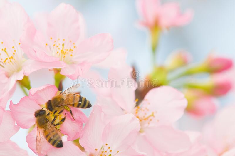 Honey bee on cherry blossom collecting pollen royalty free stock image