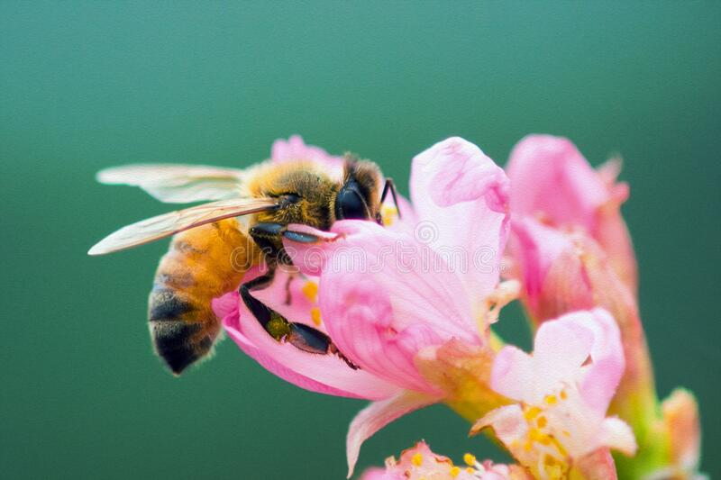Honey bee on cherry blossom collecting pollen, insect royalty free stock photo