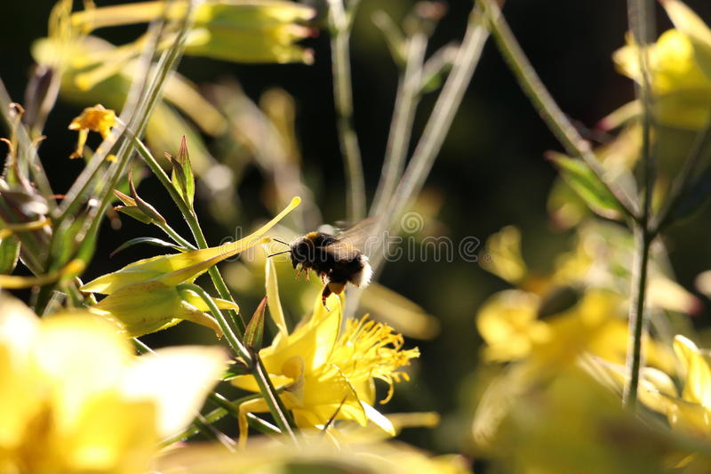 Honey Bee 2. A closer look at the life of bumble bees royalty free stock photography