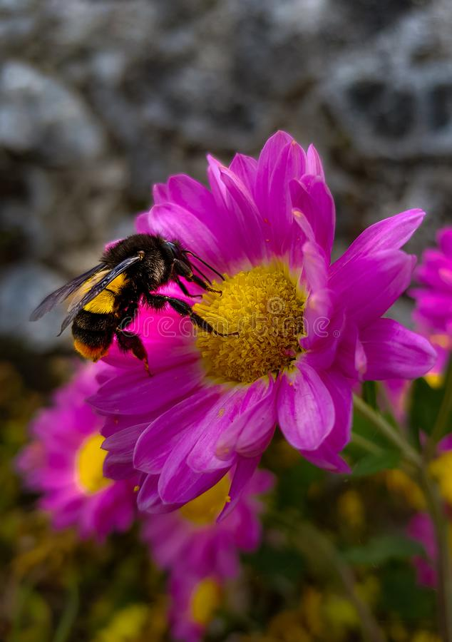 Honey bee. Collect honey from the flower stock images