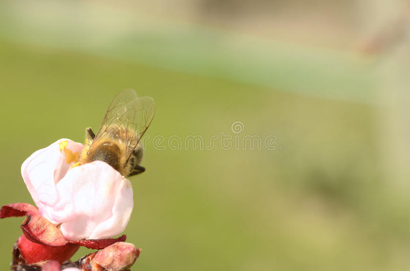 Honey Bee Collecting Nectar From een Apple-Bloesem royalty-vrije stock foto