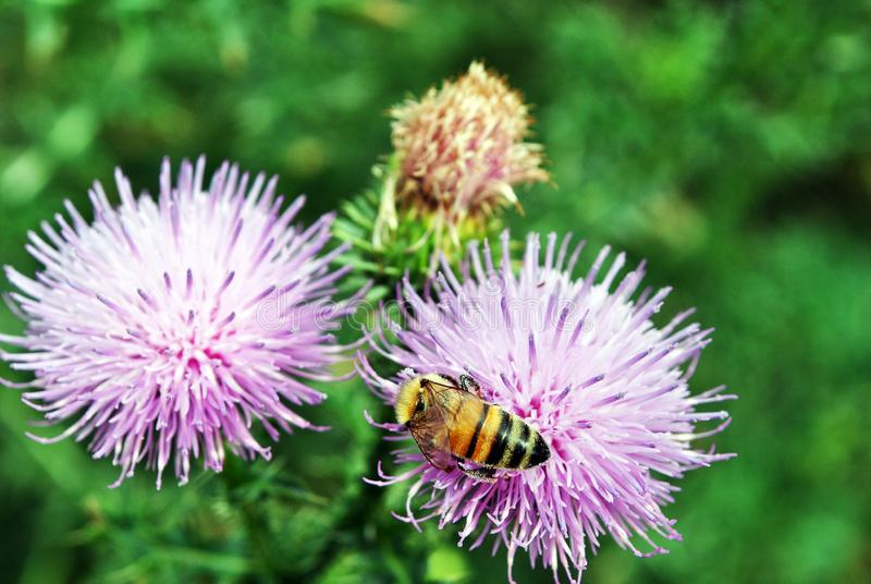 Honey bee collecting nectar on the flowers of purple milk thistle, soft green grass. Bokeh background stock image