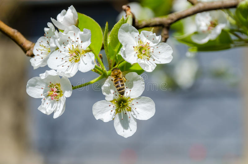 Honey bee collecting nectar on white pear tree blossoms at springtime royalty free stock photography