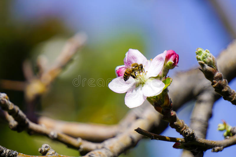 Honey Bee Collecting Pollen royalty free stock photo