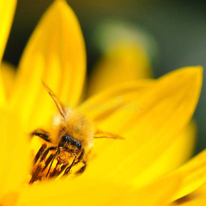 Bee on yellow flower. Macro yellow honey bee collecting pollen from flower and pollinating stock photo