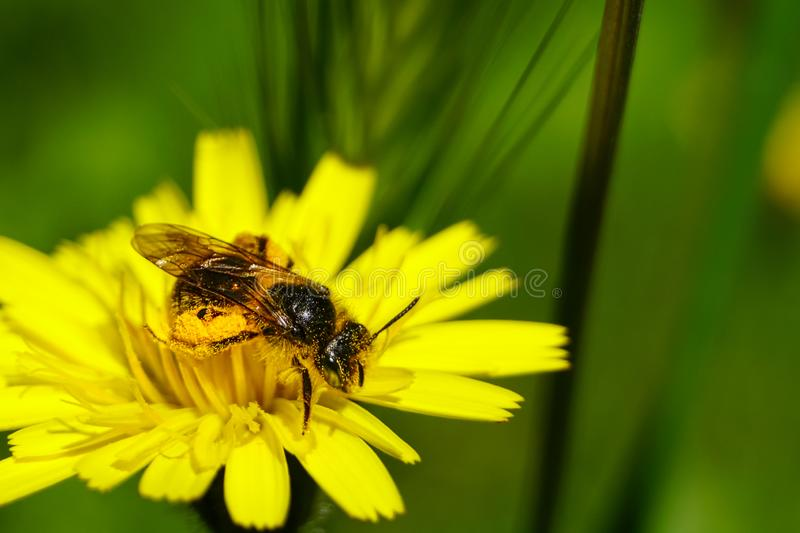 Honey bee collecting pollen and nectar from Dandelion flower Taraxacum. Natural green background stock image