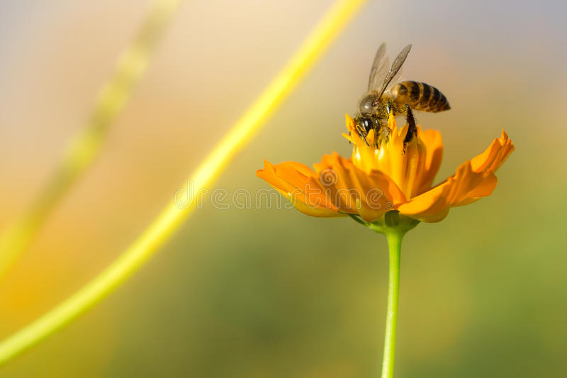 Honey bee collecting pollen and nectar yellow cosmos flower. stock photography