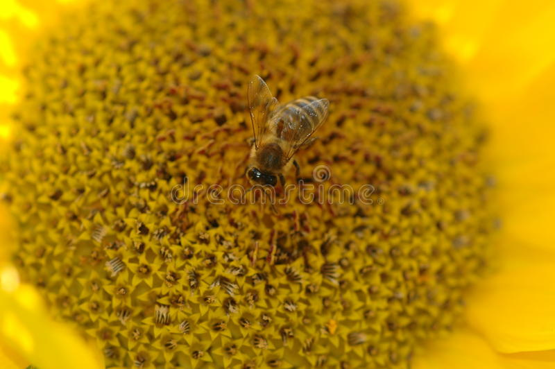 Download Bee collecting pollen stock photo. Image of hymenoptera - 86663870