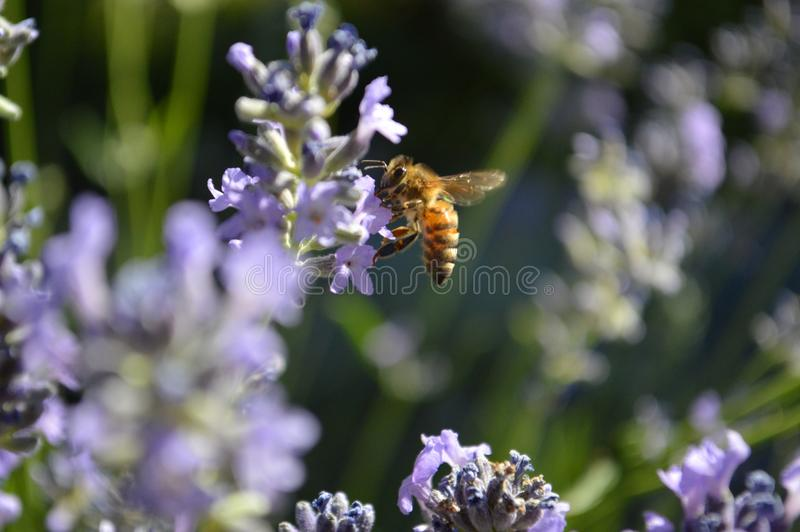 Honey Bee Collecting Pollen From Russisch Sage Blooms stock afbeelding