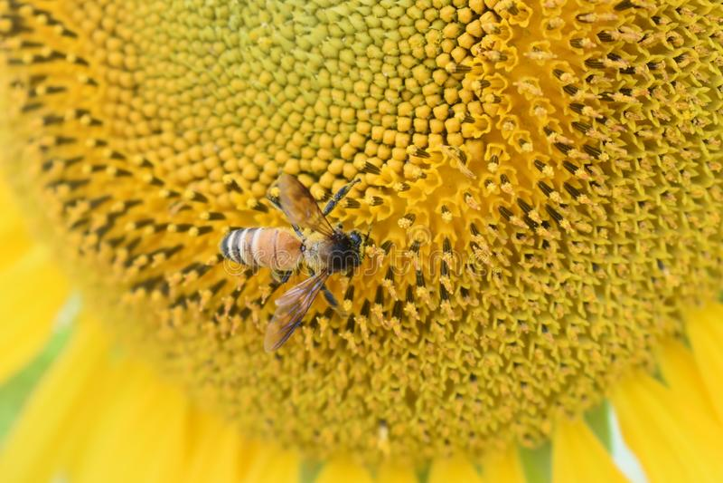 Honey Bee collecting pollen on sunflower. stock photos