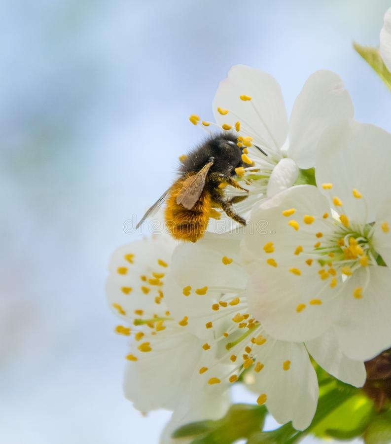 Honey Bee collecting pollen on white cherry blossom tree stock photos