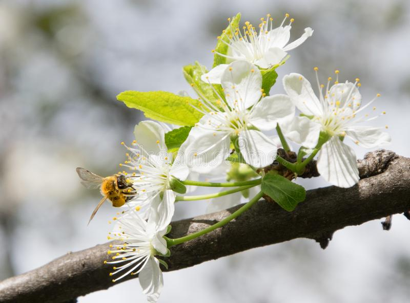 Honey Bee collecting pollen on white cherry blossom tree royalty free stock photos