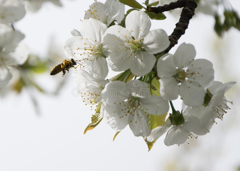 Honey Bee collecting pollen on white cherry blossom tree royalty free stock image