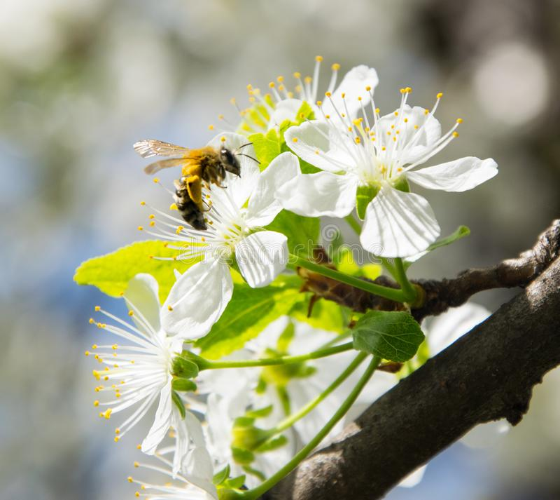 Honey Bee collecting pollen on white cherry blossom tree stock photo