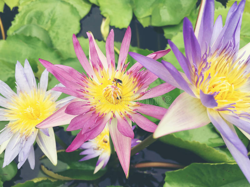 Honey bee collects pollen showing its pollen baskets and flies away on lotus flower in the pond. Saturated colors and vibrant deta stock images