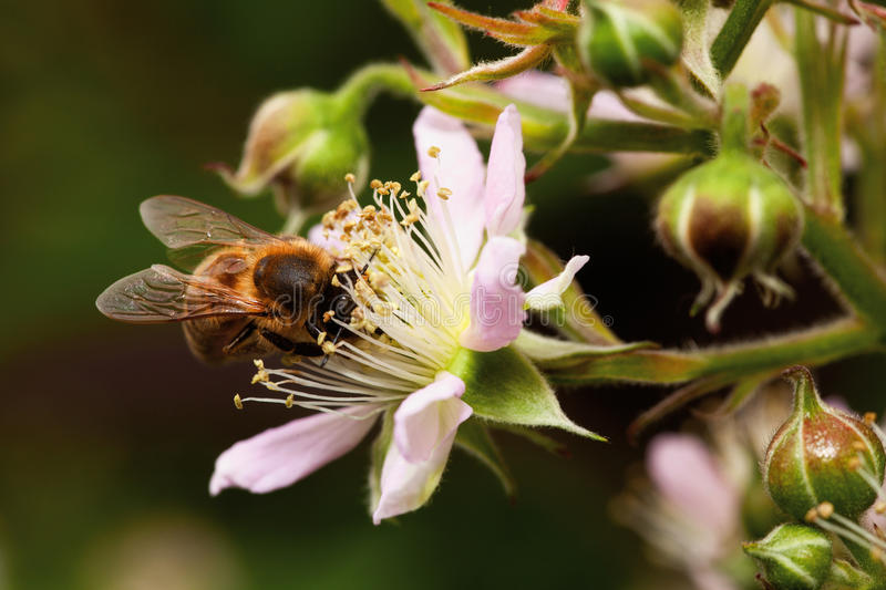 Download Honey Bee Collets Flower Nectar Stock Photo - Image: 25313320