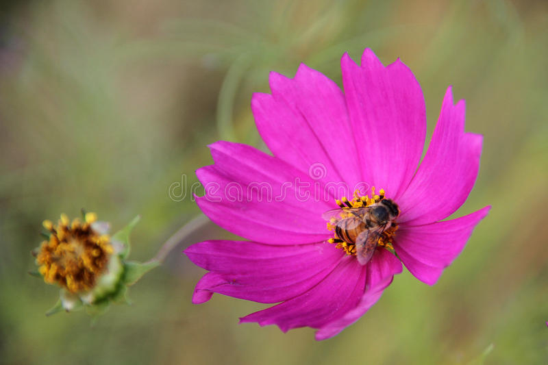 Honey bee on cosmos flower. Honey bee on pink cosmos flower. Honey Bees are an animal most of us learn about very early on, one way or another. In Summer, many royalty free stock photography