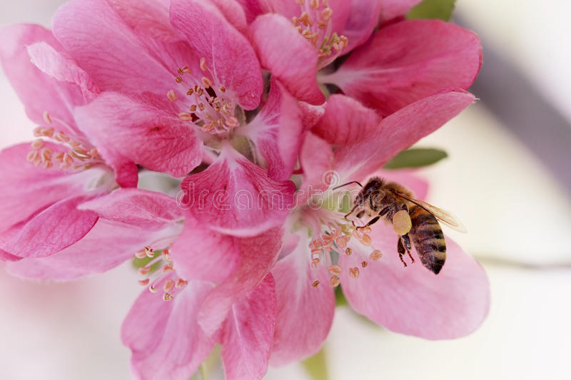 Honey Bee. Covered with pollen royalty free stock photography