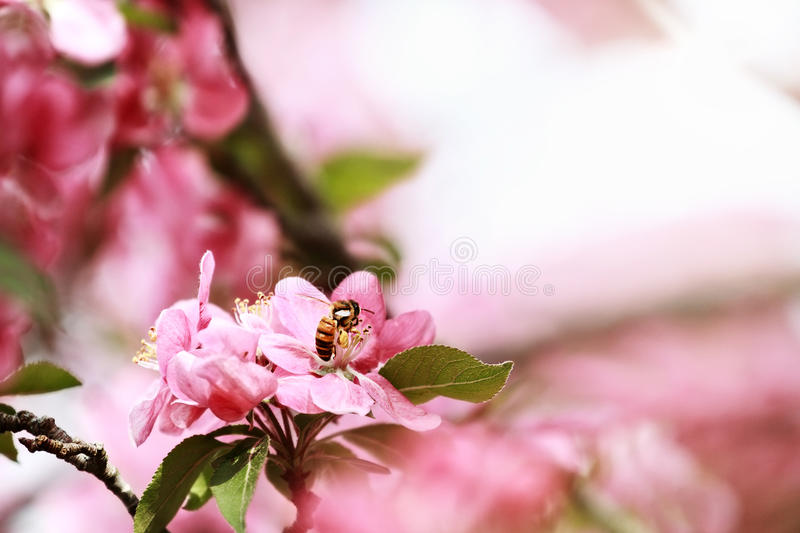 Honey Bee and Crab Apple Tree stock photography