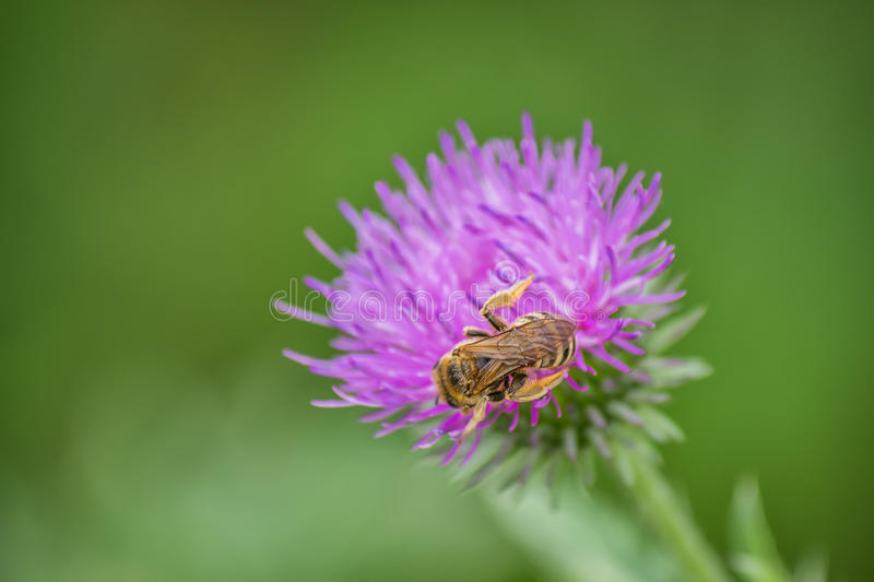 Honey bee on creeping thistle (cirsium arvense) purple flower 3. Honey bee on creeping thistle (cirsium arvense) purple flower. Selective focus and motion blur royalty free stock photo
