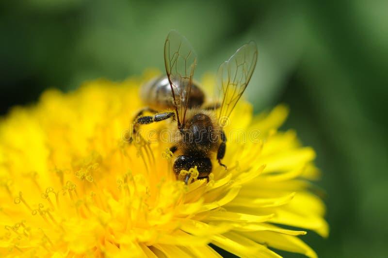 Honey bee on dandelion royalty free stock photography