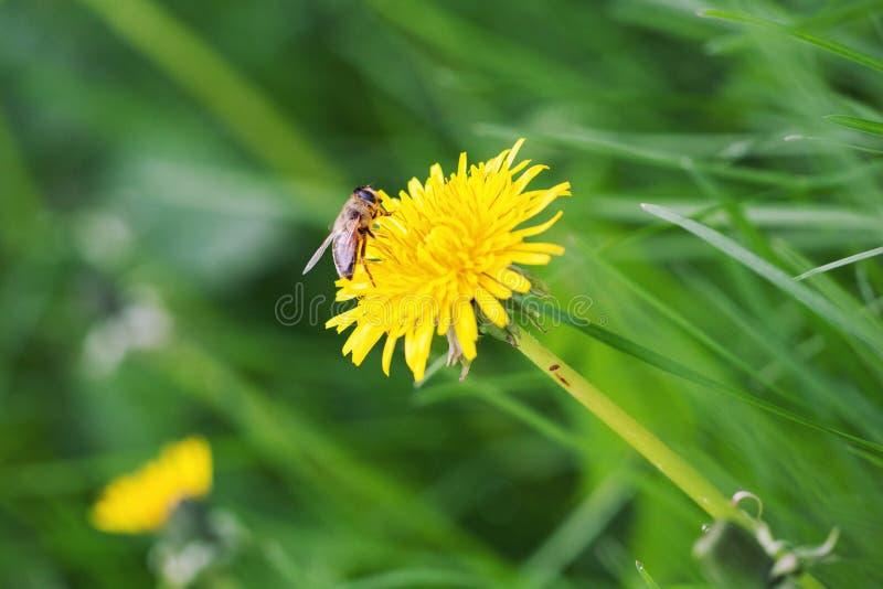Honey bee on dandelion. stock photo