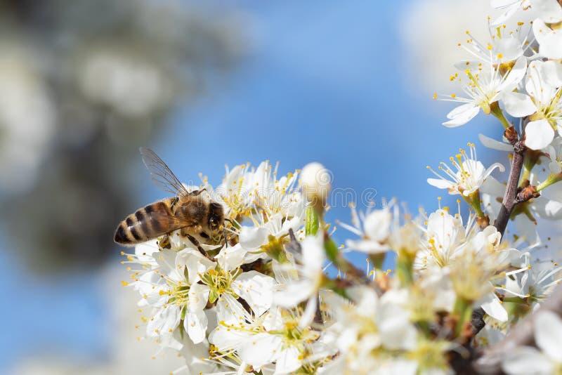 Honey Bee, der Bl?tenstaub von den Blumen sammelt bl?hender Baum Biene sammelt Nektar von den wei?en Blumen stockfotos