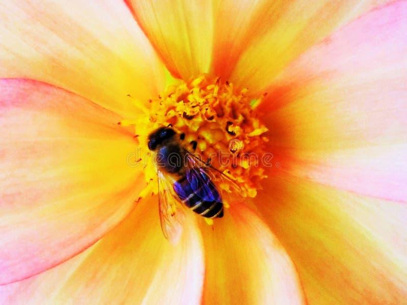 Honey Bee die een mooie bloem kussen stock fotografie